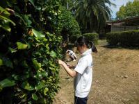 椿の葉摘み2