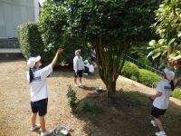 椿の葉摘み3